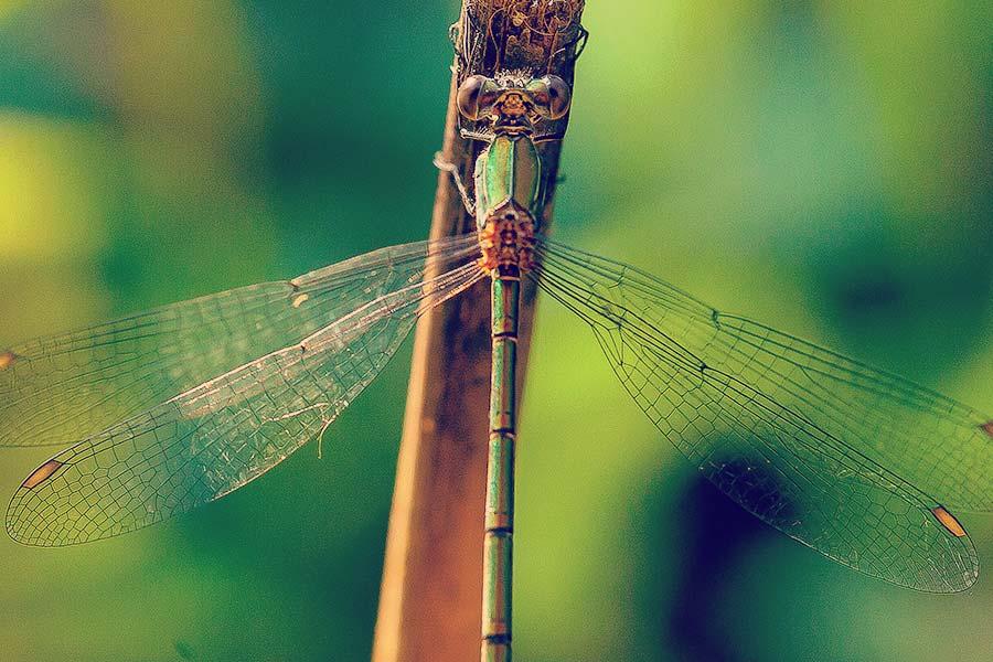 fotografia macro di una libellula